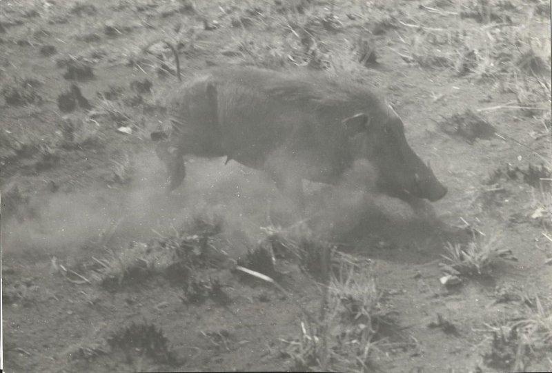 Wild boar near Gok (photo Steven Schewe).