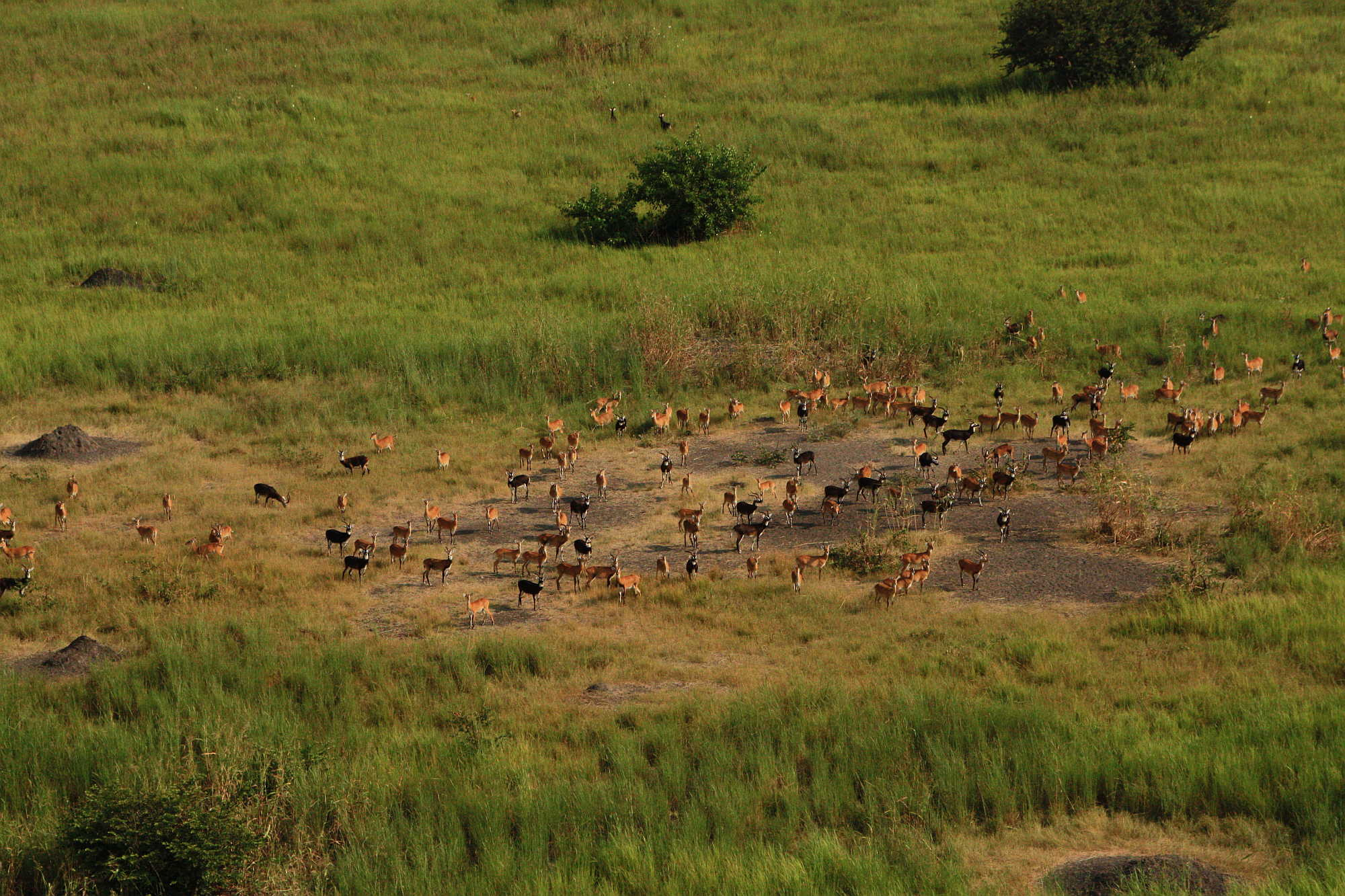 kob-migration-gambella-national-park